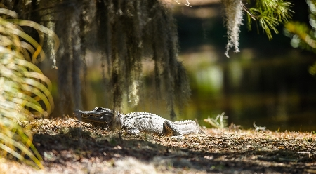 Alligator watches golfers at the 2014 friendship cup