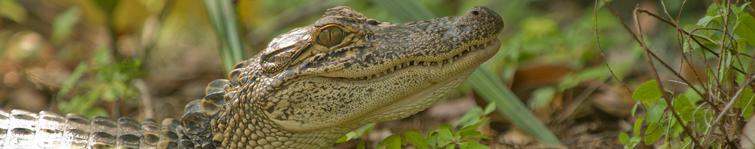 Recreation - Things to see and do - Walking Tours - Gator Walk