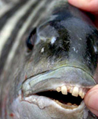 fish-teeth