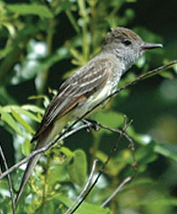 great-flycatcher