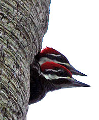 piliated-woodpecker