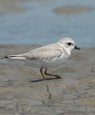 piping-plover