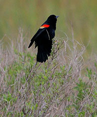 red-wingedblackbird
