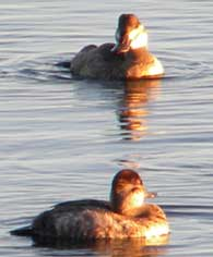 ruddy-ducks