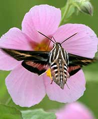 white-lined-sphinx
