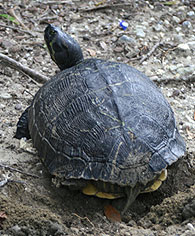yellow-bellied-slider