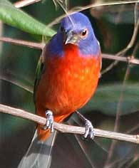 beautiful-paintedbunting