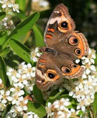 common-buckeye