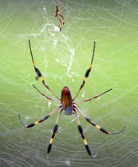 golden-silk-spider
