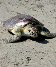 green-seaturtle2