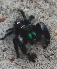 jumping-spider2
