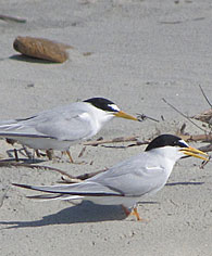 least-terns