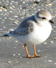 piping-plover2