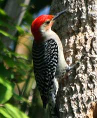 redbellied-woodpecker