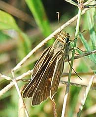 salt-marsh-skipper