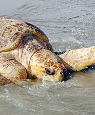 seaturtle-beach
