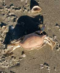 speckled-crab