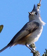 a-tufted-titmouse