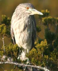 black-night-heron-imm