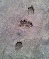 footprints-wildlife