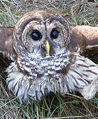 open-winged-owl