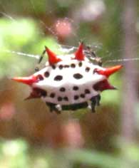 weird-face-spider