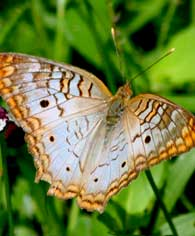 whitecolor-butterfly