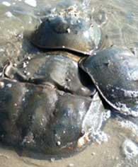 horseshoe-crabs3