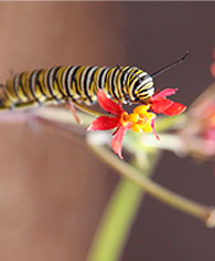 monarch-caterpillar2