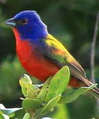 painted-bunting2