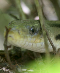 yellow-rat-snake