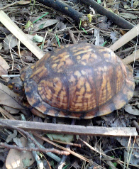 eastern-box-turtle