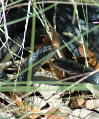 black racers mating