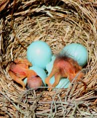 born bluebirds