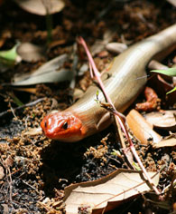 broad headed skink