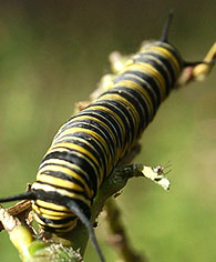 caterpillar monarch