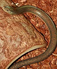 glass lizard