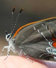 White Hairstreak