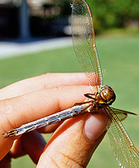 hand holding dragonfly
