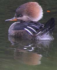 hooded merganzer