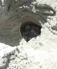 leatherback turtle nest