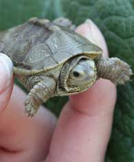 small terrapin
