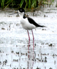 stilt at willet