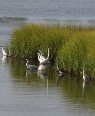 swimming egrets