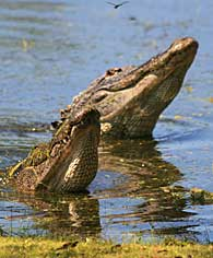 two alligator heads