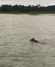 Coyote swimming