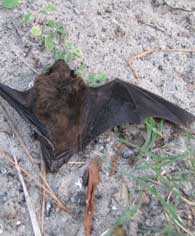 winged bat